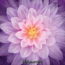 Orchid - Dream Big 7455